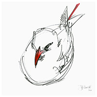 Tavake, Red-tailed Tropicbird